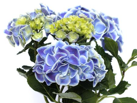 blue hydrangea in a pot photo
