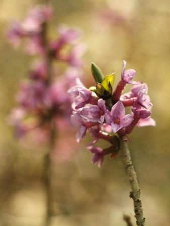 dafne: giovane rosa daphne nella foresta Archivio Fotografico