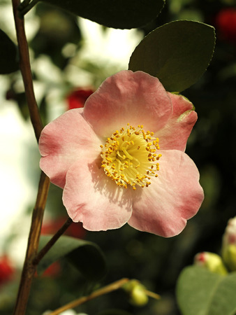 camellia blooming in the greenhouse