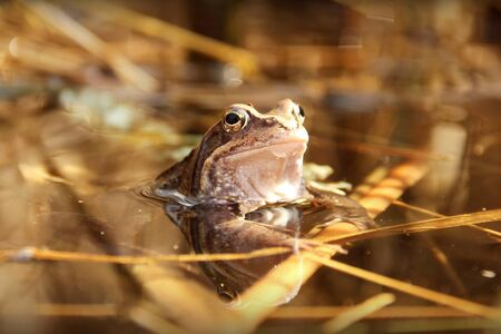 wetness: frog sits partially submerged in a pond Stock Photo