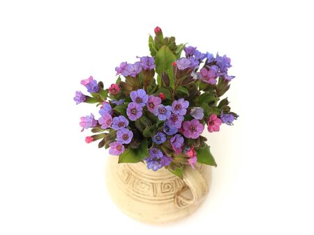 bluebell woods: lungwort in a vase on a white background