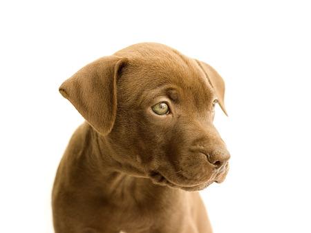 lapdog: little pitbull on a white background Stock Photo