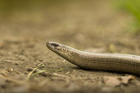 anguis: Slow worm lizard on sand close view
