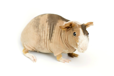 hairless: hairless guinea pig on a white background