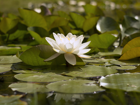 white water lily blooming in the lake photo