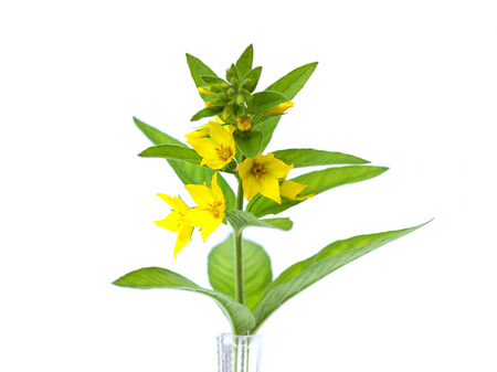Lysimachia punctata in a vase on a white background