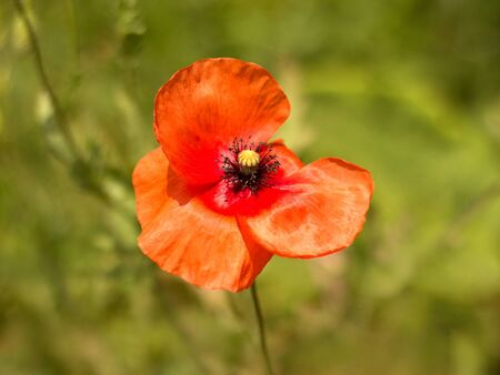 red poppies on the meadow 스톡 사진