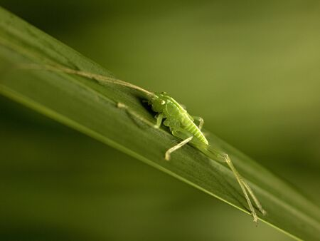 crawly: green grasshopper sitting on a reed Stock Photo