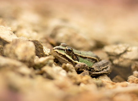 croak: Young frog resting in a pond Stock Photo