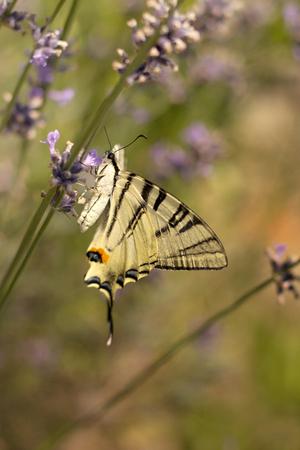 Scarce Swallowtail Iphiclides podalirius on lavender Stock Photo