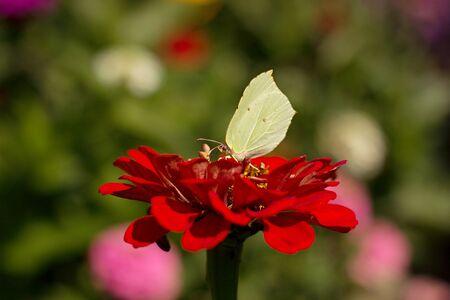 Gonepteryx rhamni resting on a flower