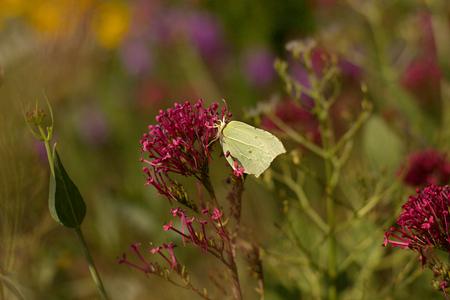gonepteryx: Gonepteryx rhamni resting on a flower