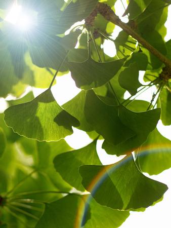 Gingko Biloba tree in the park Stock Photo