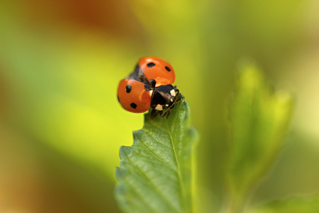coccinella: Ladybug, Coccinella septempunctata on leaf Stock Photo