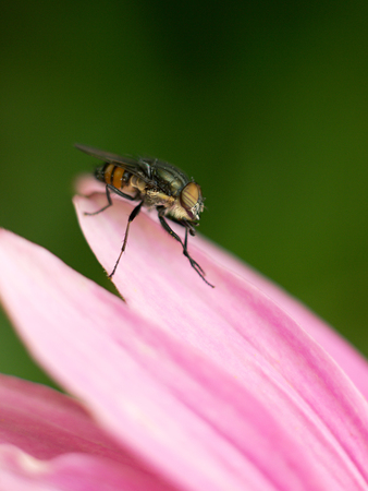 housefly: housefly sitting on a pink echinacea Stock Photo