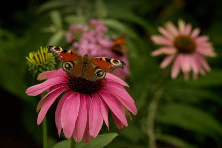 inachis: Inachis io - butterfly resting in the garden Stock Photo