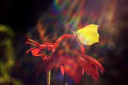 gonepteryx: Gonepteryx rhamni butterfly resting on a flower