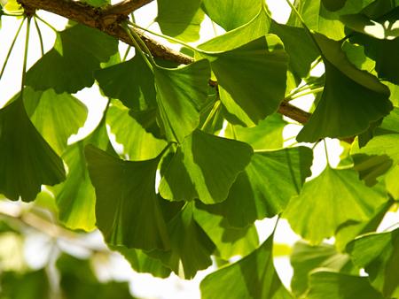 gingko: Gingko Biloba tree in the park Stock Photo