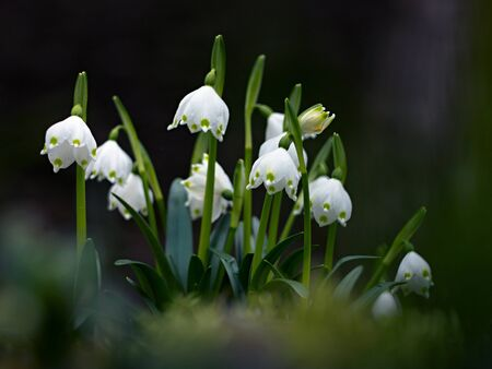 snowdrops: snowdrops blooming in the woods Stock Photo