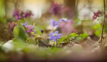 hepatica: blue hepatica blooming in the woods