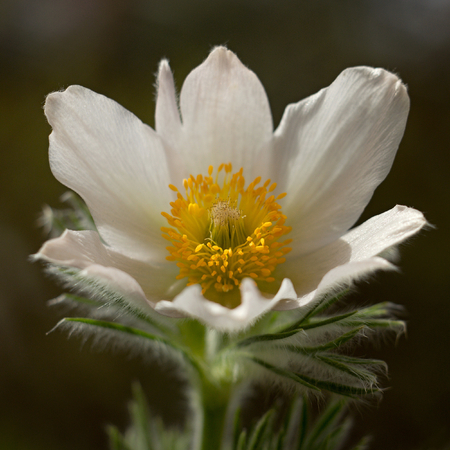 pasque: Pasque flower blooming in the meadow