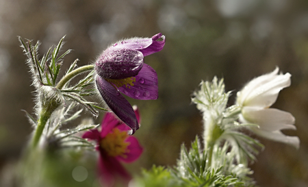 whitw: Pasque flower blooming in the meadow