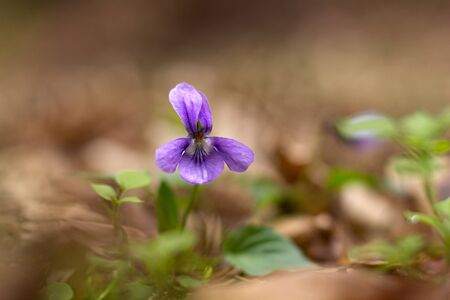 blue violet: blue violet in the forest Stock Photo