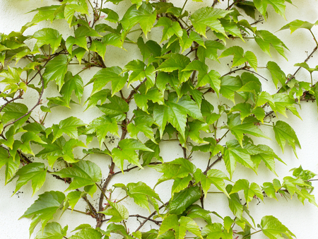 cluster house: Parthenocissus tricuspidata on the wall Stock Photo