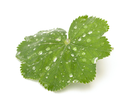 alchemilla: ladys mantle on a white background Stock Photo