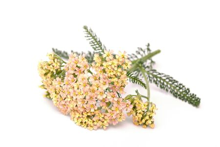 millefolium: Yarrow (Achillea millefolium) on white background