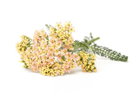 yarrow: Yarrow (Achillea millefolium) on white background
