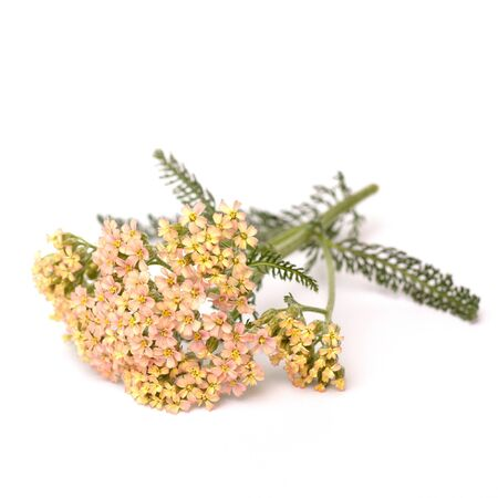 milfoil: Yarrow (Achillea millefolium) on white background