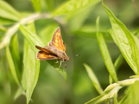 skipper: Skipper butterfly sitting on a plant