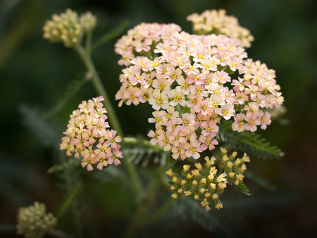 abloom: yarrow growing in the garden