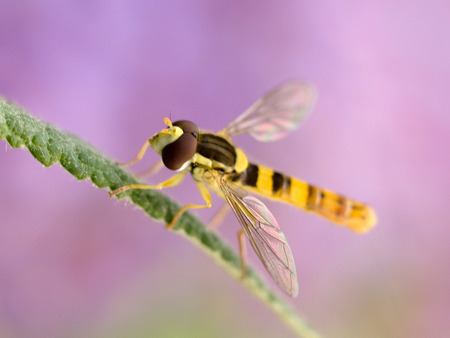 perched: A hoverfly perched on a plant leaf. Stock Photo