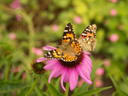 echinacea: Echinacea and colorful butterfly in the garden Stock Photo