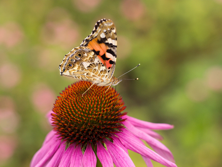 Echinacea and colorful butterfly in the garden Stock Photo