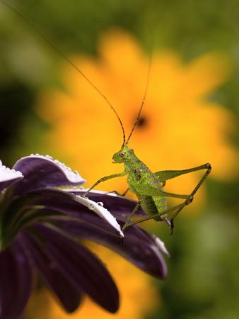 green grasshopper resting on osteospermum