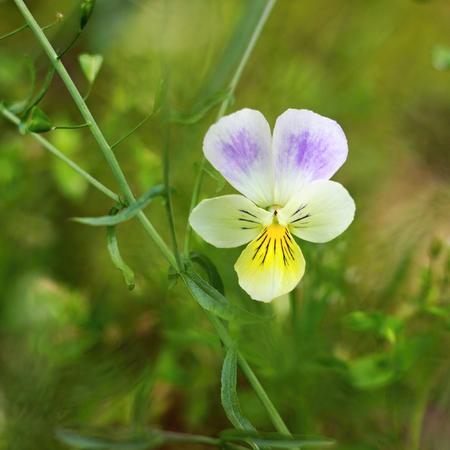arvensis: Viola arvensis blooming on the field