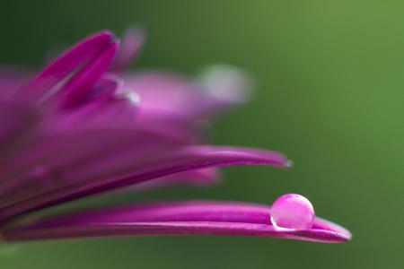 dewdrop: dewdrop on a pink flower