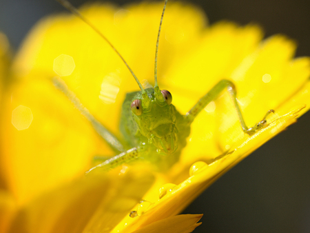 yelloow: green grasshopper resting on a yelloow flower