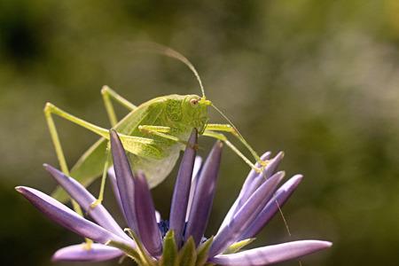 green grasshopper resting on a osteospermum