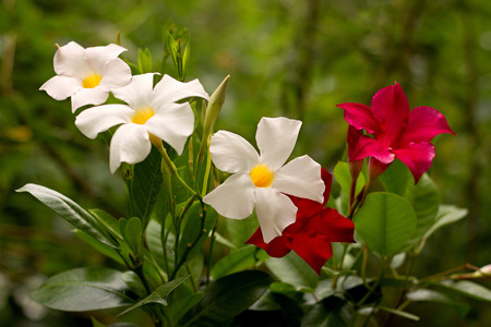 Red and white Mandevilla in a pot Imagens