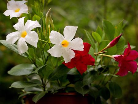 dipladenia: Mandevilla rosso e bianco in una pentola