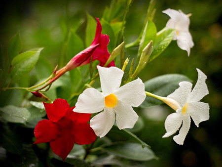 flowering: Red and white Mandevilla in a pot Stock Photo