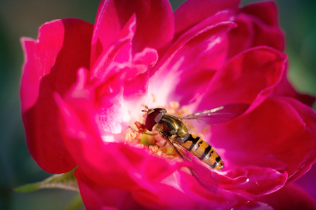 perched: A hoverfly perched on a red rose. Stock Photo