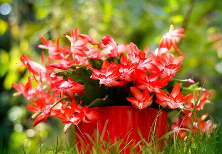 christmas cactus: The blooming cactus in a red pot
