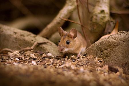 Little mouse (Apodemus flavicollis) in the garden