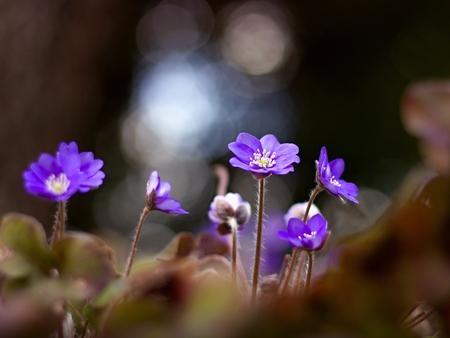 liverwort: Violet forest flower Hepatica nobilis Stock Photo