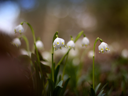 vernal: The first snowdrops in the forest